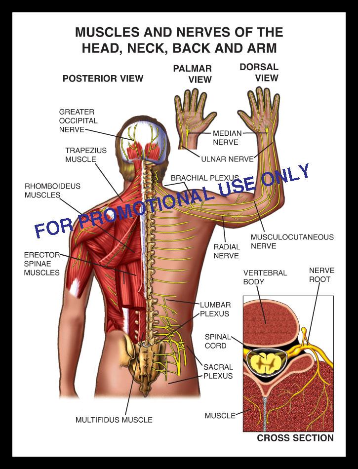 muscles, nerve, back, spine, occipital, root, trapezius, median, nerve, ulnar, brachial plexu, rhomboideus, sprain, strain, lumbar, cervical, thoracic, sacral